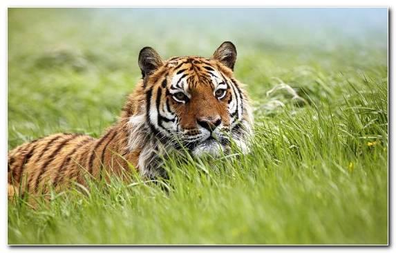 Image Malayan Tiger Siberian Tiger Grazing Grassland Wilderness