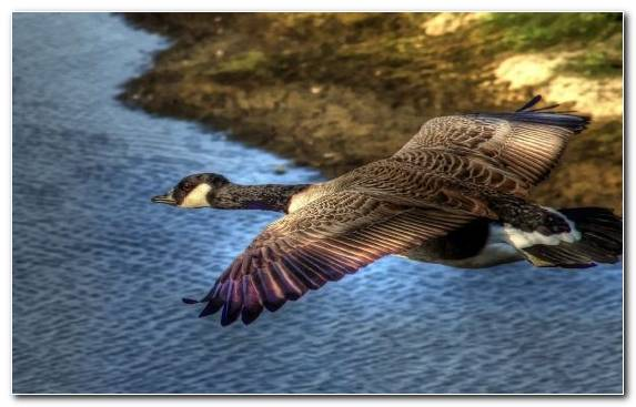 Image Mallard Waterfowl Mandarin Duck Duck Ducks Geese And Swans