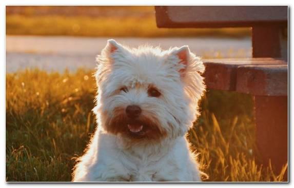 Image Maltese Dog Sydney Dog Like Mammal Pug West Highland White Terrier