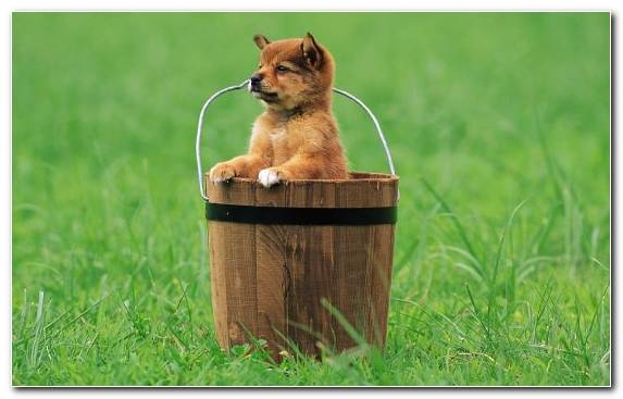 Image Mammal Australian Cattle Dog Fauna Puppy Pomeranian
