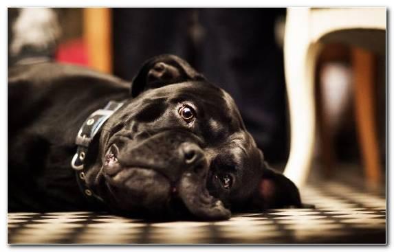 Image Mammal Bulldog Snout Guard Dog Dog Breed