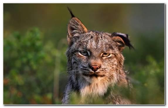 Image Mammal Canada Lynx Bobcat Terrestrial Animal Felidae