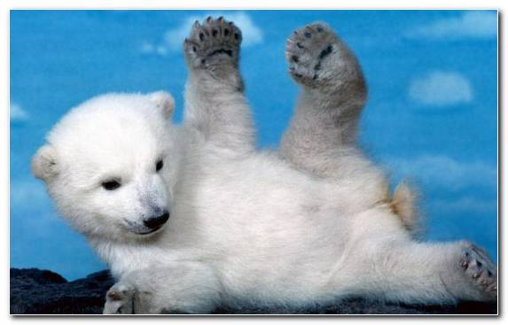 Image Mammal Cuteness Teddy Bear Terrestrial Animal Polar Bear Cubs