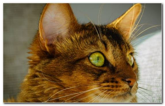 Image Mammal Dragon Li Somali Cat Small To Medium Sized Cats Toyger