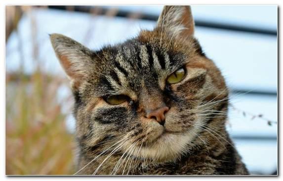 Image Mammal Fauna Bengal Cat European Shorthair Kitten