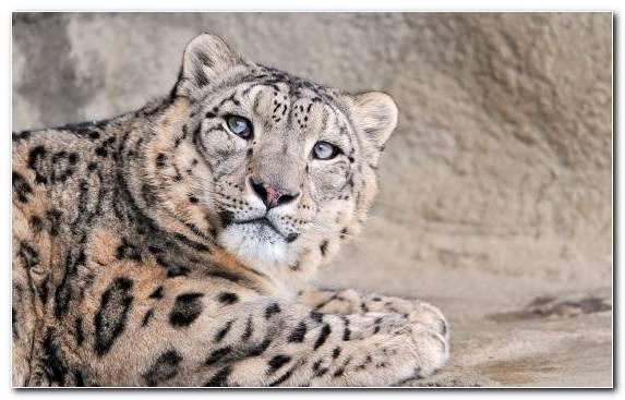 Image Mammal Leopard Snout Wildlife Snow Leopard