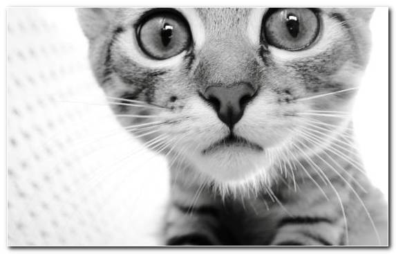 Image Mammal Monochrome Photography Nose Persian Cat American Shorthair