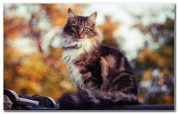 Image Mammal Norwegian Forest Cat Cuteness Maine Coon Raccoon