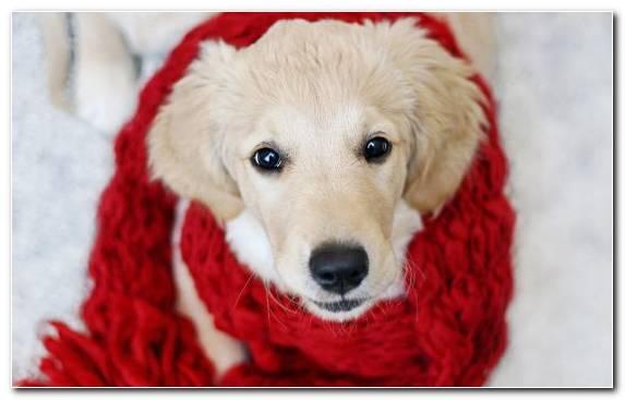 Image Mammal Puppy Animal Snout Labrador Retriever