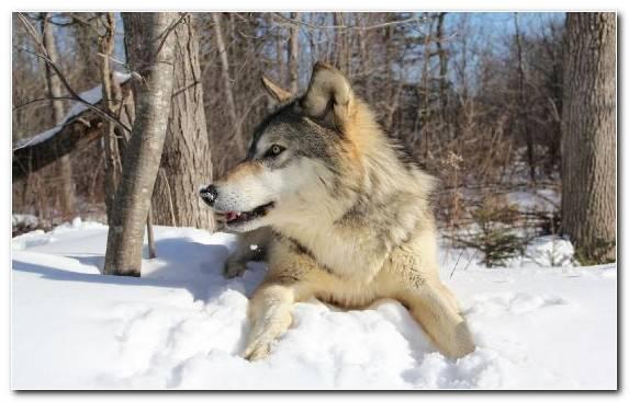 Image Mammal Saarloos Wolfdog Canis Lupus Tundrarum Snow Czechoslovakian Wolfdog