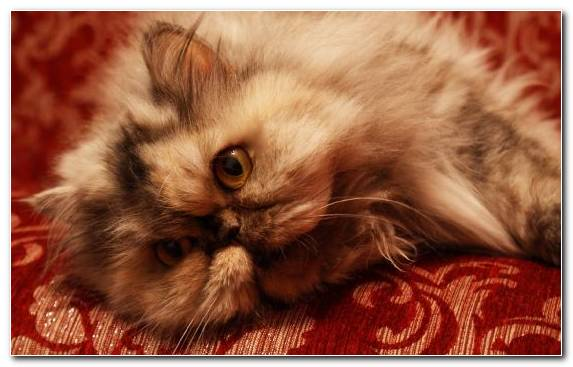 Image Mammal Snout Persian Cat Kitten