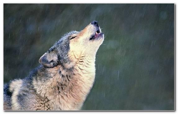 Image Mammal Snout Wildlife Dog Like Mammal Czechoslovakian Wolfdog