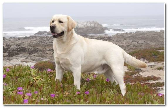 Image Mammal Sporting Group Golden Retriever Labrador Retriever Pomeranian