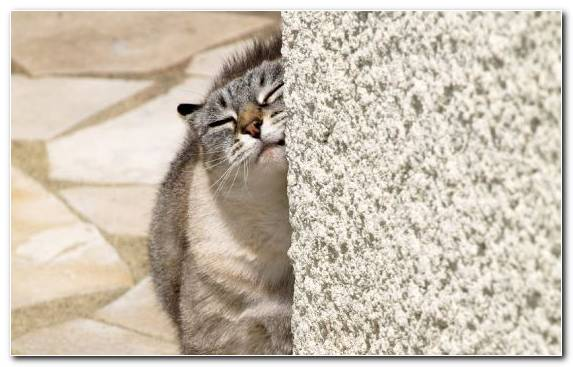 Image Mammal Tabby Cat Fur Scratching Post European Shorthair