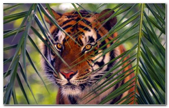 Image Mammal Tiger Terrestrial Animal Wildlife Fauna