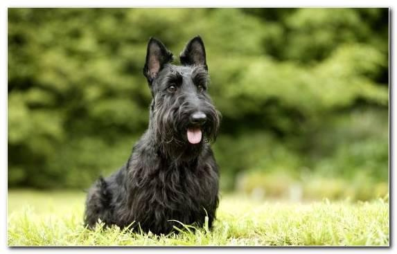 Image Mammal Westminster Kennel Club Dog Show Dog Like Mammal Scottish Deerhound Scottish Terrier