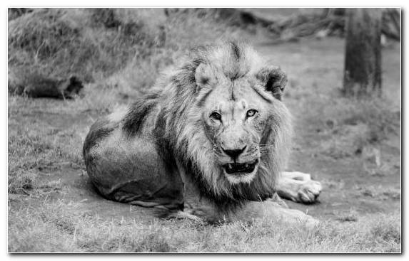 Image Mane Black And White White Lion Big Cat Terrestrial Animal