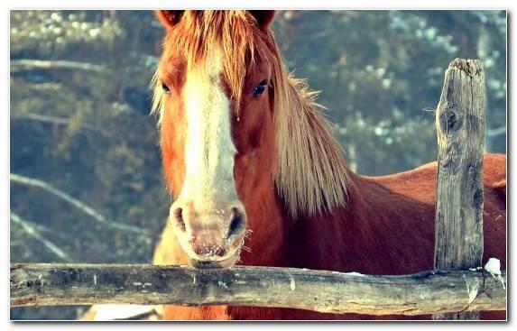 Image Mane Horses Mustang Horse White Stallion