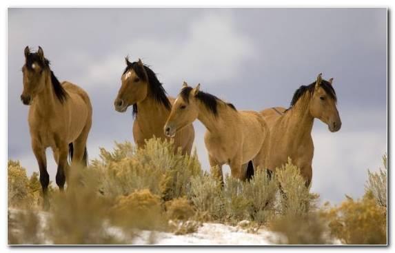 Image Mane Horses Wildlife Horse Wild Horse