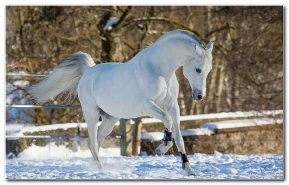 Image Mane Mustang Mare Snow Horse