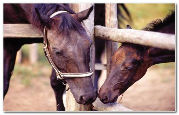 Image Mane Stallion Snout Foal Pack Animal