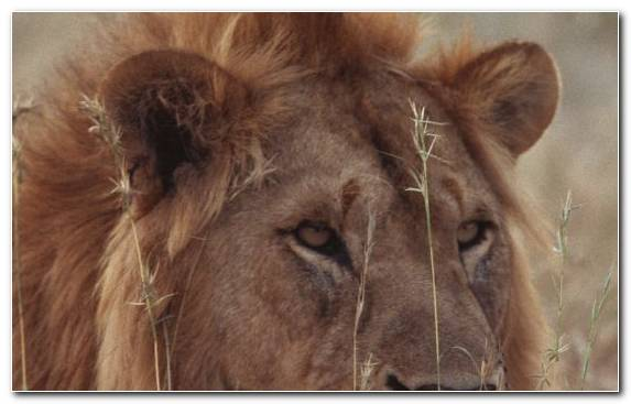 Image Mane Whiskers Terrestrial Animal Big Cat Lion