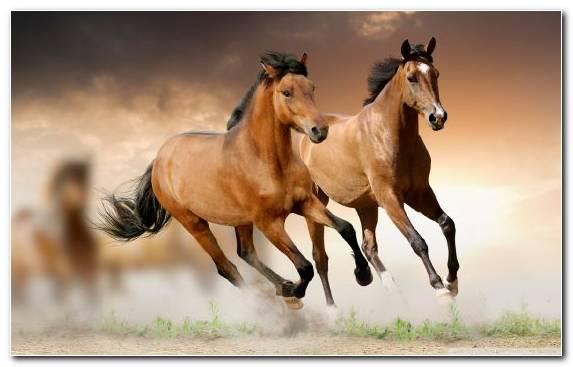 Image Mane White Mare Wild Horse Arabian Horse