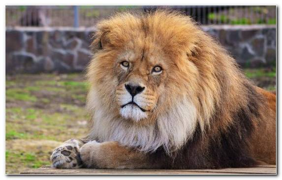 Image mane zoo terrestrial animal wildlife lion