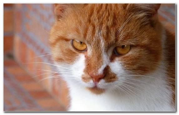 Image manx cat european shorthair snout cymric cat kitten