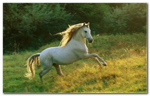 Image Mare White Horses Mane Animal