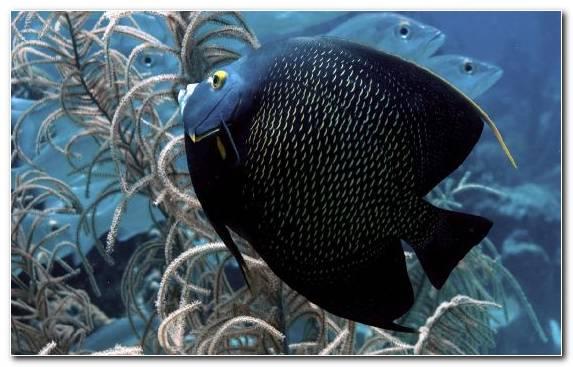 Image Marine Biology Guppy Underwater Coral Reef Fish Fauna