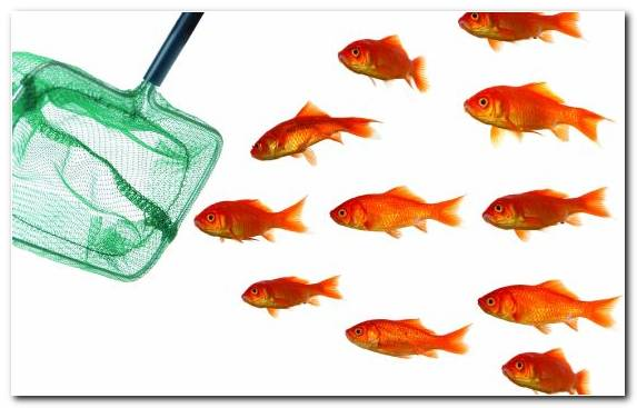 Image marine biology orange goldfish feeder fish bony fish