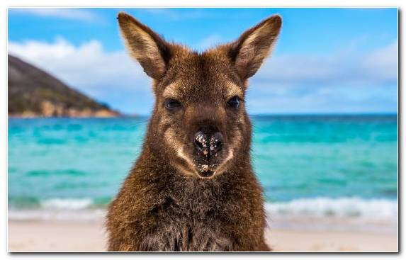 Image Marsupial Melbourne Accommodation Wallaby Snout