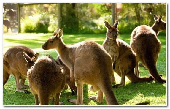 Image Marsupial Healesville Sanctuary Grasses Zoo Terrestrial Animal