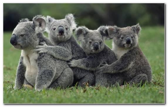 Image Marsupial Koala