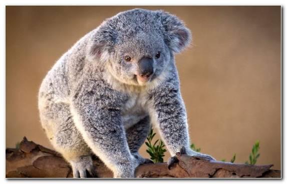 Image Marsupial Snout Terrestrial Animal Mammal Wildlife