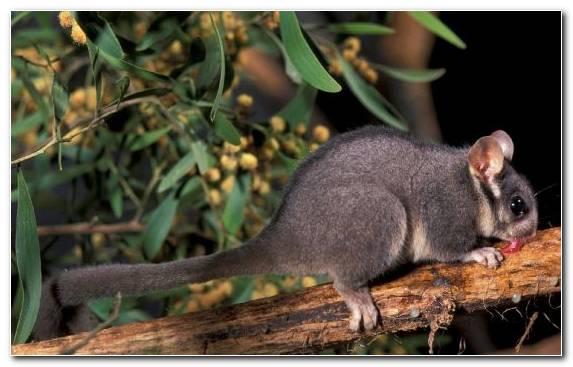 Image Marsupial Terrestrial Animal Australia Animal Wildlife