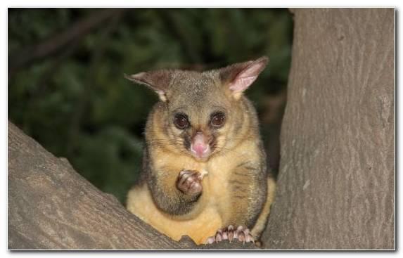 Image Marsupial Terrestrial Animal Snout Australia Koala