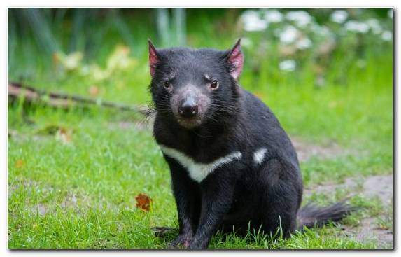 Image Marsupial Wildlife Animal Tasmanian Devil Terrestrial Animal