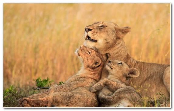 Image Masai Lion Lion Africa Ecosystem Savanna
