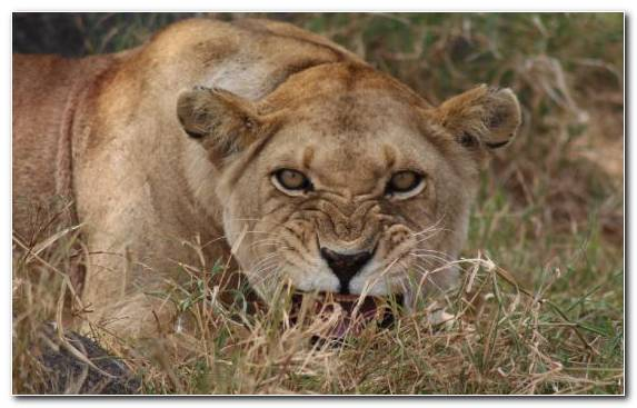 Image Masai Lion Wilderness Safari Big Cat Wildlife