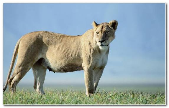 Image Masai Lion Wildlife Fauna Mammal Big Cat
