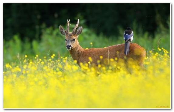 Image Meadow Grasses Grazing Roe Deer Wildlife