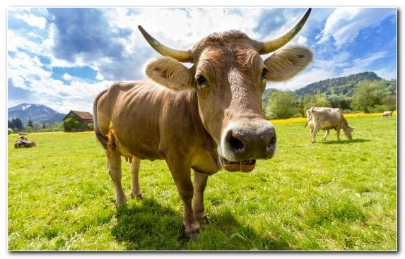 Image Meadow Livestock Rural Area Horn Agriculture