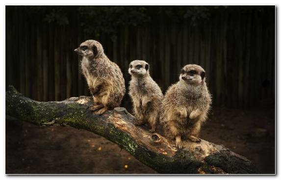 Image Meerkat Wildlife Mongoose Animal Terrestrial Animal