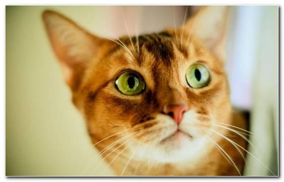 Image Meow Eye Cat Breed Munchkin Cat Moustache