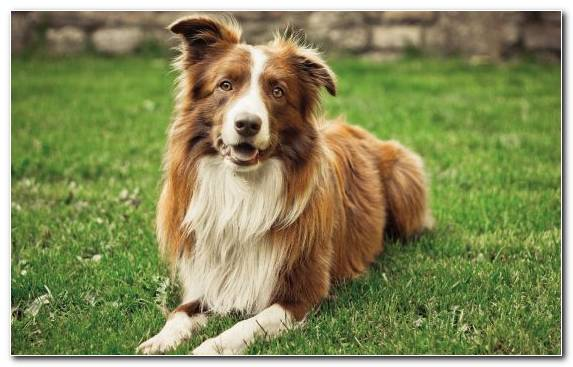 Image Merle Dog Like Mammal Border Collie Australian Shepherd Collie