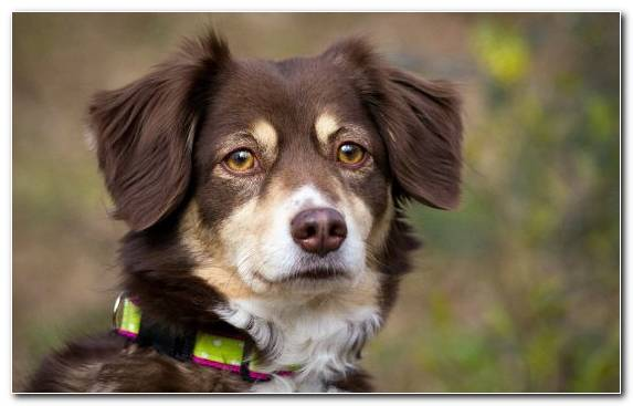 Image Miniature Australian Shepherd Companion Dog Dog Like Mammal Dog Breed Australian Cattle Dog