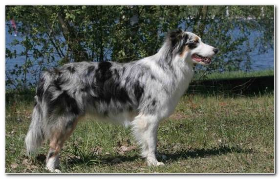 Image Miniature Australian Shepherd English Shepherd Welsh Sheepdog Dog Breed Companion Dog