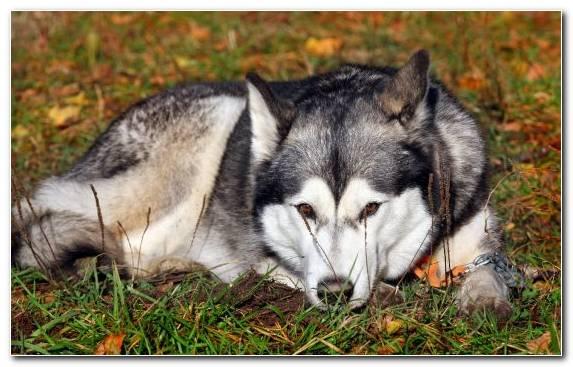 Image Miniature Schnauzer Alaskan Malamute Sakhalin Husky Saarloos Wolfdog Dog Breed